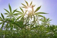 Кременчужанин накосил на огороде около килограмма «наркотического урожая»