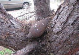 Под Кременчугом нашли мину, которая вросла в сосну и поднялась над землёй на 1,5 метра