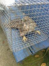 В Кременчуге МЧС - ники спасли дикого сокола, застрявшего на дереве